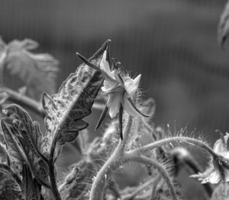 Tomato Flower Monochrome (Monomad)