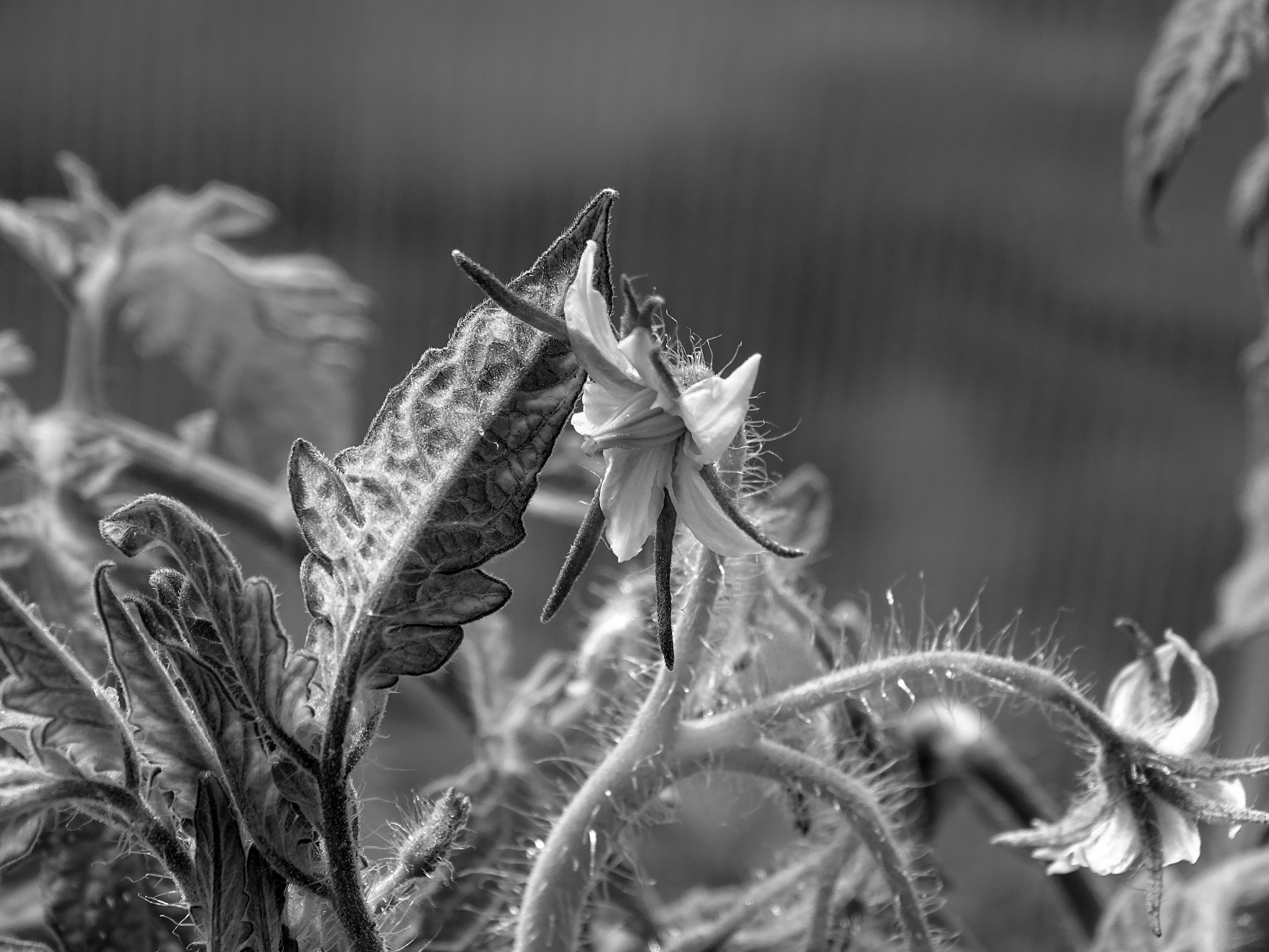Tomato Flower in Black and White