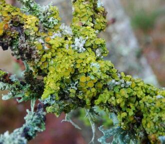 A Lichen a Day — 30 November 2020
