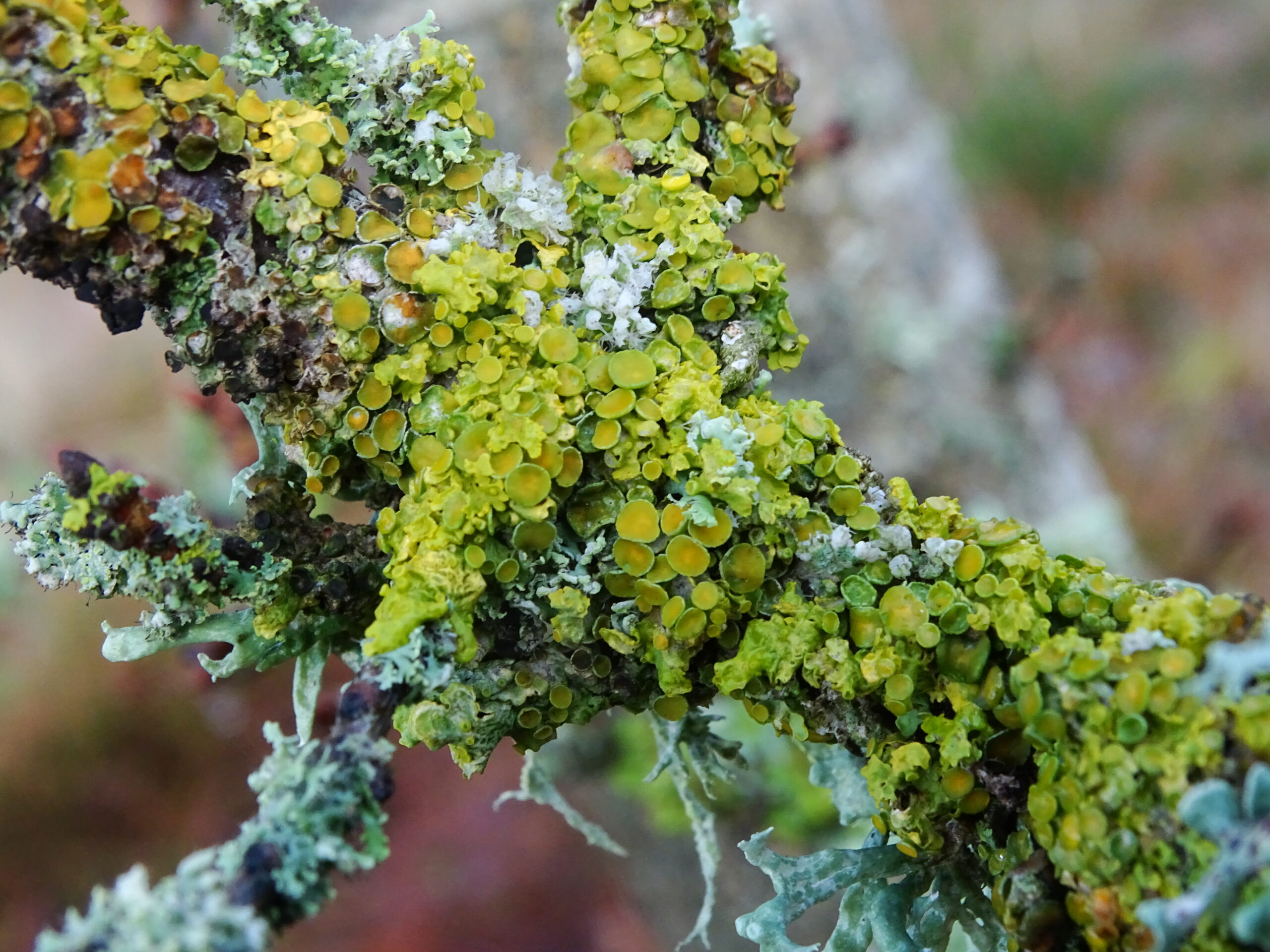 a brightly colored lichen