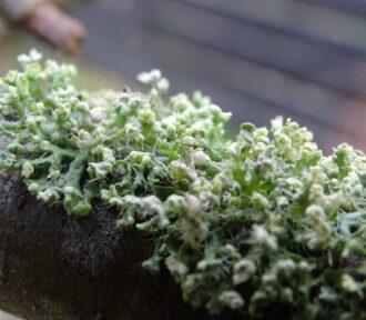 A Lichen A Day — 6 December 2020
