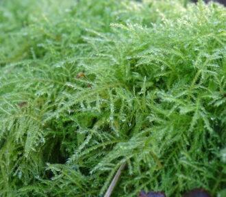 A Lichen a Day — 12 December (MOSS)