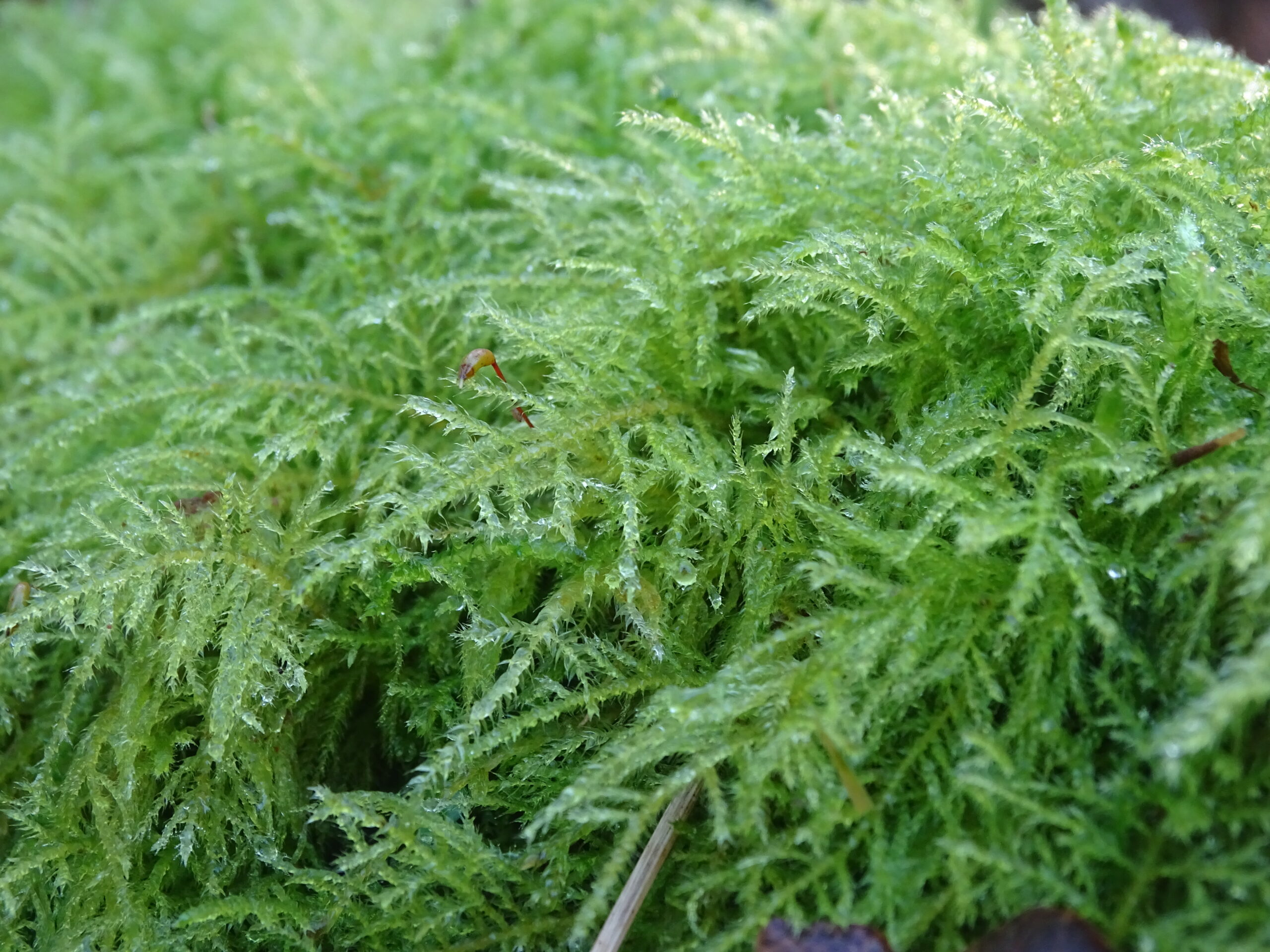 A long thick moss with a single seed head sticking up amidst the leaves
