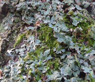 A Lichen a Day — 2 December 2020