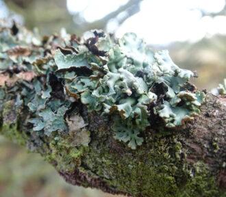 A Lichen a Day — 11 December 2020