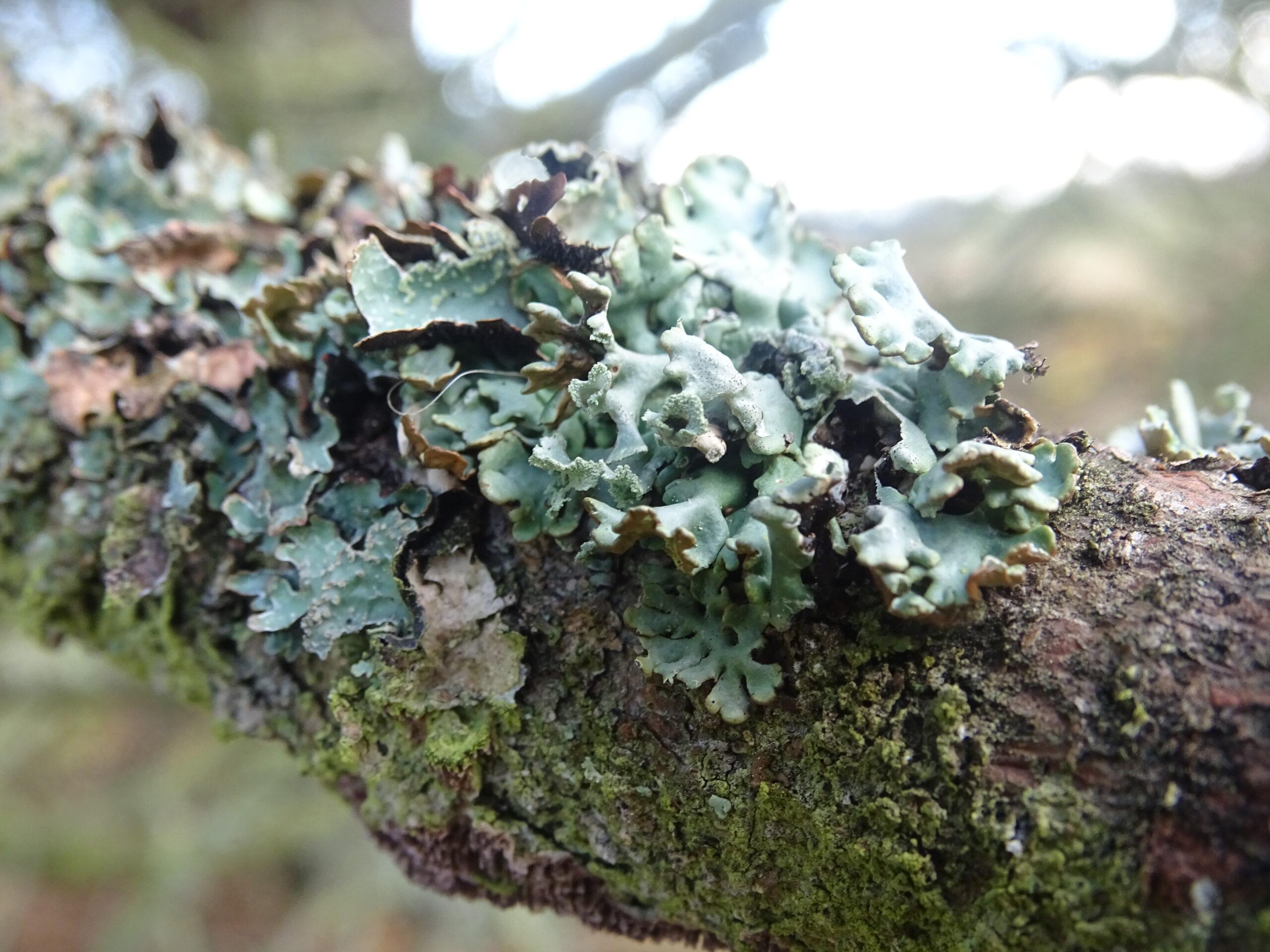 color shot of leafy lichen in blue-grey