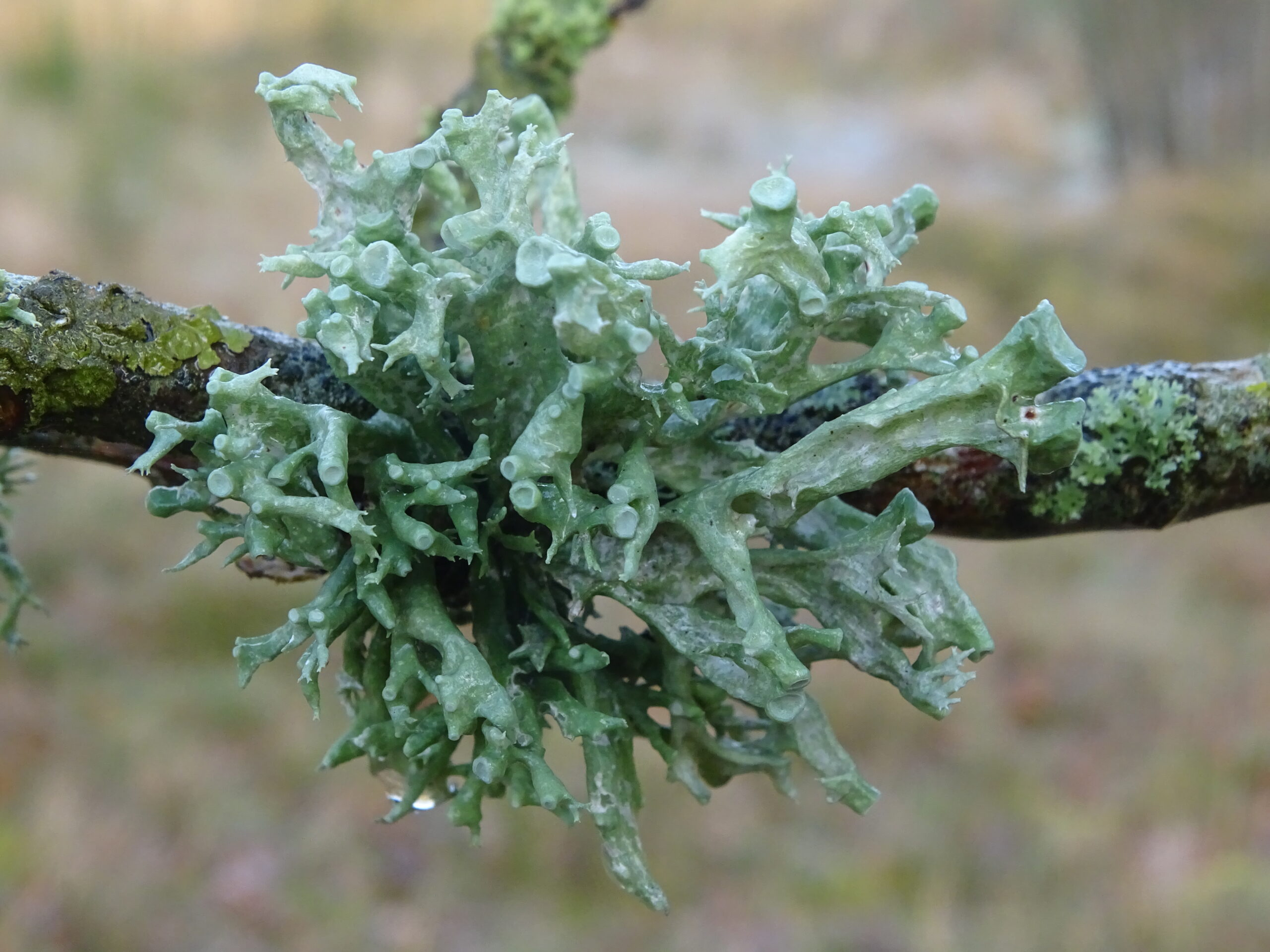a spiky lichen much larger than the branch it's growing on