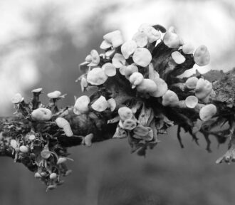 A Lichen a Day — 8 December 2020