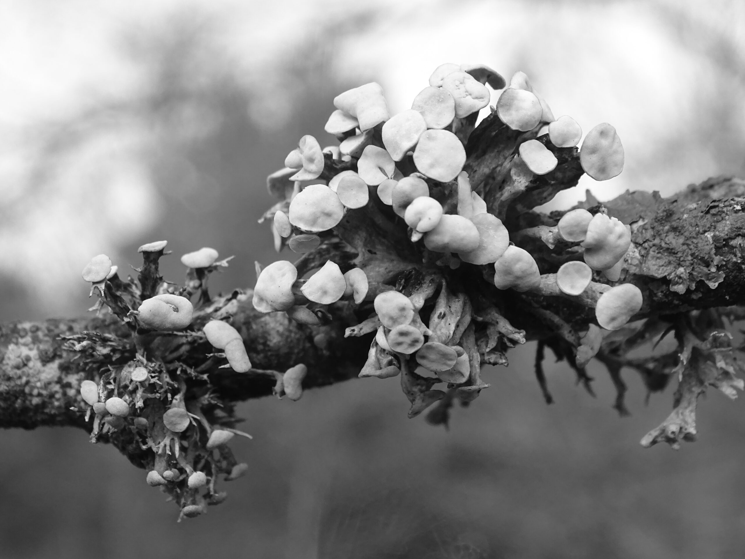 a black-and-white lichen photo