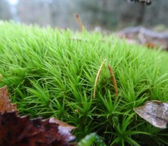 A Lichen a Day — 19 December 2020 (Moss!)