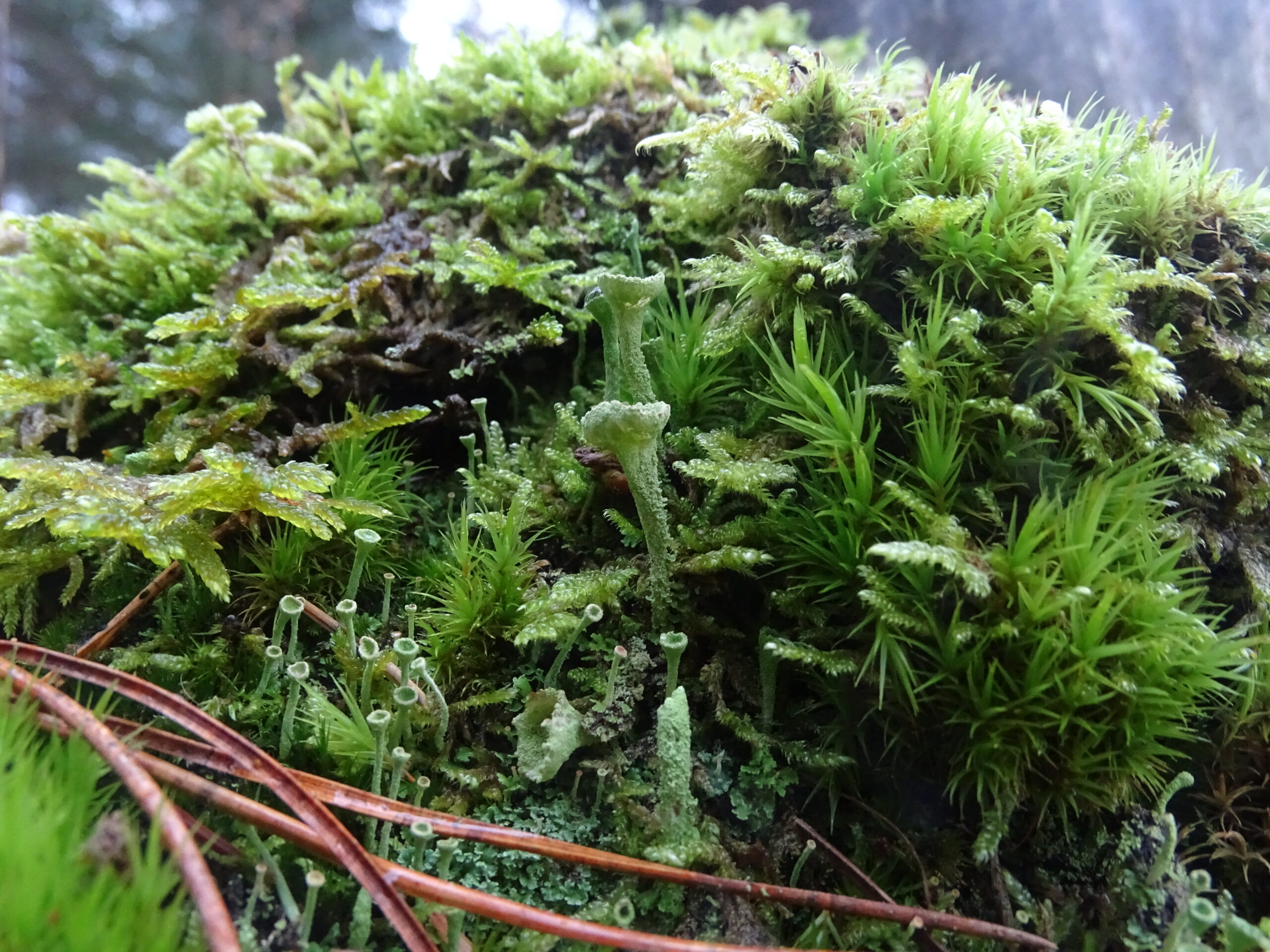 mix of lichen and moss on the side of a stump