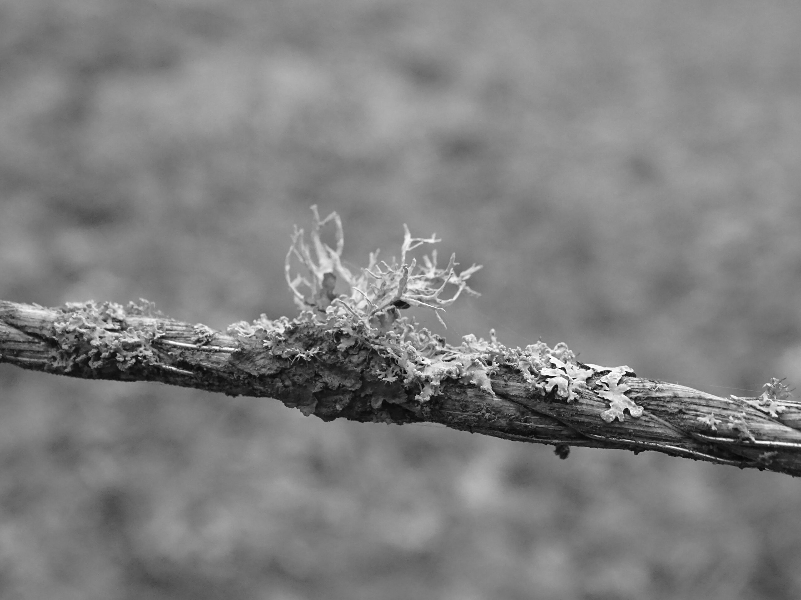 """mixed lichen growing on horse fencing """"rope"""""""